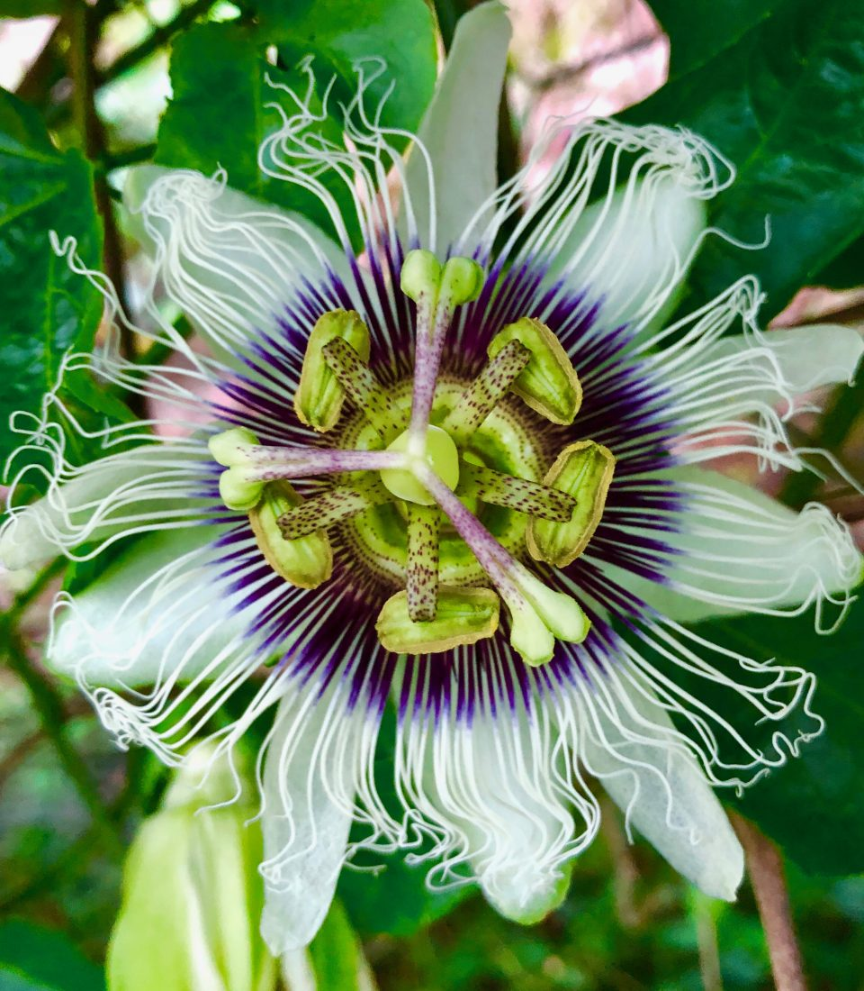 Passionfruit-flower