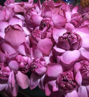 Flowers – lotus